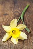 Single yellow daffodil — Stock Photo