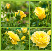 Set of yellow roses — Stock Photo