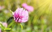 花卉背景与三叶草 — 图库照片