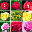 Set of roses — Stock Photo