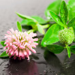 Clover on a black background with water drops — Stock Photo