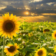 Field of sunflowers at sunset — Stock Photo