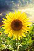 Sunflower close-up at a sunset — Stock Photo