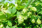 Fresh ripe hop — Stock Photo