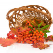 rowan with red leaves in a basket  — Stock Photo