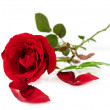 Single red rose — Stock Photo #33889931
