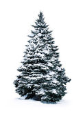 Spruce covered with snow — Stock Photo