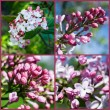 Set. Blooming lilacs — Stock Photo