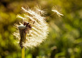 Dandelion flying close-up — Stock Photo