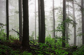 Deep fog in the forest — Stock Photo