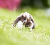 Mini lop in the grass — Stock Photo