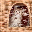 Funny little Scottish kitten inside wicker cat house — Stock Photo