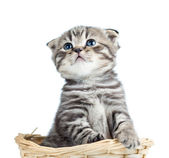 Funny baby Scottish british kitten sitting in basket — Стоковое фото