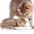 Mother and baby cat eating together — Stock Photo