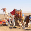 Camel and horses — Stock Photo