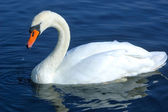 Swan swimming in water — Stock Photo