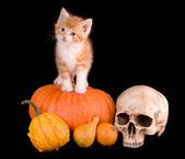 Cat on a pumpking — Stock Photo