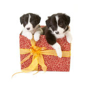 Twin puppies as a gift — Stock Photo