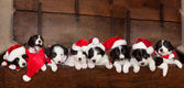 Eight christmas puppies — Stock Photo