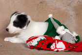 Puppy in christmas stocking — Stock Photo