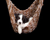 Sleepy border collie puppy — Stock Photo