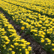 Stock Photo: Rows of yellow tulips