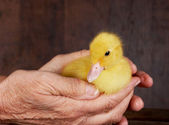 Old hands young ducky — Stock Photo