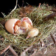 Stock Photo: Little chick hatching