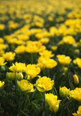 Yellow tulips in springtime — Stock Photo