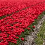 Постер, плакат: Millions of tulips