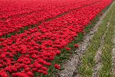Millions of tulips — Stock Photo