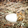 Stock Photo: Hatching duckling