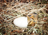 Hatching duckling — Stock Photo