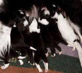 Karmienie szczeniąt rasy border collie — Zdjęcie stockowe
