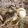 Stock Photo: Drying duckling hatched