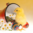 Easter chick and bucket — Stock Photo