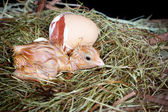 Chick egg and nest — Stock Photo