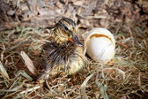 Drying duckling hatched — Stock Photo