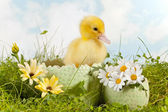 Cute easter duckling — Stock Photo