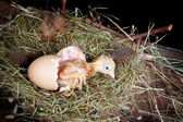 Baby chick in egg — 图库照片
