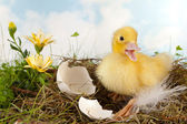 Duckling calling — Stock Photo
