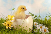 Easter chick in the garden — Stock Photo