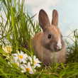 Baby rabbit and daisies - Stock Photo