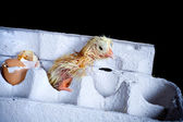 Chick in egg box — Stock Photo