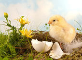 Easter flowers and chick — Stock Photo
