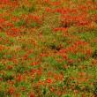 Stock Photo: Thousands of poppies