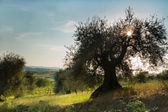 Sunflare in olive tree — Stock Photo