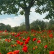 Poppy field in Tuscany — Stock fotografie