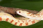 Adult snake — Stock Photo