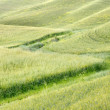 Stock Photo: Waves of grass in Tuscany
